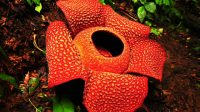 Bunga bangkai Rafflesia Arnoldi
